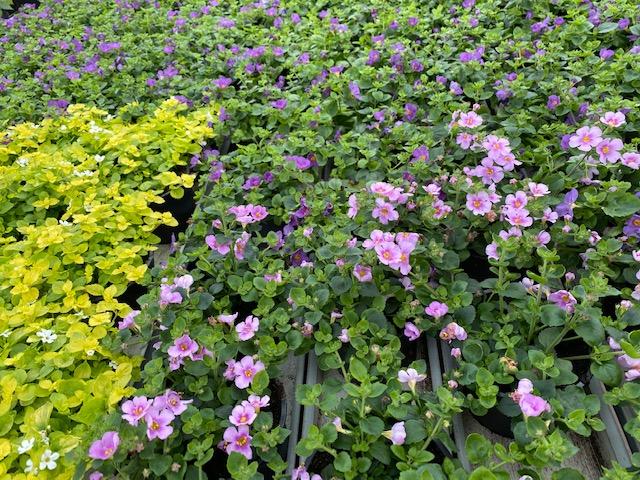 Nämä viisi kasvia kestävät pitkälle syksyyn