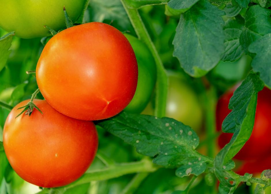 Tomaatteja, paprikaa, lisää tomaatteja…